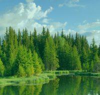 چرا درخت کاج همیشه سبز است؟